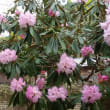 佛隆寺の千年桜~室生寺めぐり