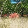 ①榛名山とツツジ。②今日の作業で、山林でしか見られない「カシワバハグマ」を発見。