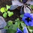 ミモザの救世主★野菜は楽しく植える