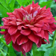 ダリア 「詩季」「高嶺の花」