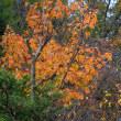 カジカエデの紅葉