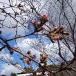 【状況共有】三熊野神社の桜