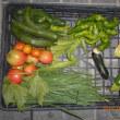 今日の収穫 キュウリ トマト ニラ 青シソ ズッキーニ オクラ トウガラシ類