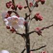 梅の花が咲き本格的な春が来た