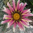 今を盛りに咲いているシャクナゲと花壇の花。