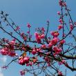 今治市の のまうまハイランド の河津桜の満開はもう少し先のようです