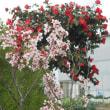 桜は、咲いてるかな・・・?