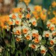 水仙の花を