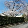 遠くまで行かなくても桜満開!!!