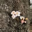 2018年3月18日の隅田川の桜