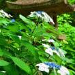 紫陽花忌 (宇治 三室戸寺)
