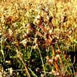 カラカラ天気の冬景色、枯れ草三昧です。ススキ、ヨシ、ガマ、チガヤ、他