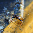 リンゴマダラヨコバイ幼虫