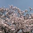 民家の桜。綺麗に咲いています。