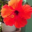 ハイビスカス開花