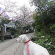 ほぼ満開 「第66回衣笠さくら祭」衣笠山公園 桜の開花状況 2018年3月24日(土)