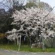 今島神社の桜