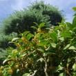 ☆庭の金木犀