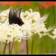 白野江植物公園のシロヒガンバナと蝶