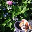 すぅちゃんと紫陽花