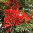地域のシンボル鳳凰木が見頃 #鳳凰木#和泊町#越南#内城