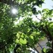 梅の実、豊作の日