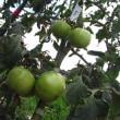 抑制栽培トマトは苦戦しています