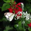 韮の花と蝶