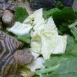 ドワーフヒョウモンに白菜