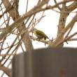 モエレの鳥たち 11/23 アカゲラ♂ とヤマゲラ♀ ミヤマカケスにアイサリターンズ