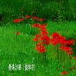 水生植物公園・曼珠沙華(彼岸花)