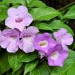 ガーリックパインの花
