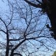 桜のつぼみは大きく膨らんでいる:)