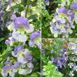 アンゲロニアの花は