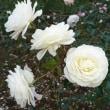 秋薔薇&バラバラとお喋り