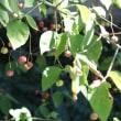 変わった様子のツリバナの実、彩り綺麗なノブドウの実、まだ熟していなかったストロベリーの実