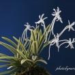 富貴蘭「天恵覆輪」の花