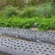 人生は予習と復習。さぁ~楽しみなスイカ栽培の準備開始…