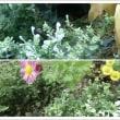 秋でも 群れて咲く 白い タツナミソウ
