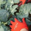みるい ブロッコリーの初収穫