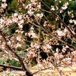 「県立座間谷戸山公園」梅がほころび始めた!!
