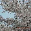 ・・・桜で遊ぶ鳥さん・・・