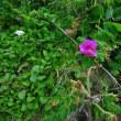 風衝・ガレ・海辺地の植物・・・・・竜飛岬 2 ・・・・