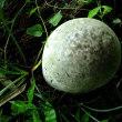 オニフスベ 大きな球形キノコ