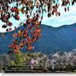 冬桜の季節Ⅶ
