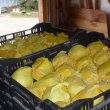 レクチエ収穫開始