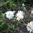 庭桜が、季節外れに咲きました~~!