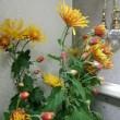 お客様より菊の花を頂きました❗ありがとうございます