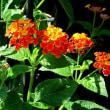 七変化(しちへんげ)という花