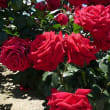 6月13日(水曜日)「真紅のバラ」(てまりさん)
